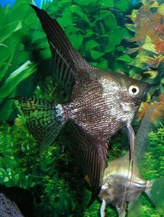Angel fish types -  Smokey Pearlscale  he pearlscale trait does not alter the expression of color of the smokey phenotype, but alters the shape and alignment of the scales resulting in the scales being more reflective of light.  This gives the angelfish a glossier appearance.  Smokey Marble The resultant offspring of pairing a smokey with a marble.