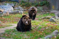 Bronx Zoo, New York | Grizzly Bear, Bronx Zoo, The Bronx, New York | Flickr - Photo Sharing! Too Many Zoos, Zoo Pictures, Bronx Zoo, Brown Bear, Wild Animals, Big Cats, Bears, New York, New York City