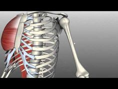 Anatomy Of The Bones Of The Upper Arm | 3D anatomy tutorial on the features of the humerus. This tutorial covers aspects of the humerus bone, including points of muscle insertion and a few clinical things.