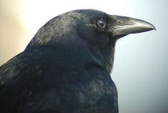 Google Image Result for http://www.birds.cornell.edu/crows/images/FiCrow-head-Cape-May-NJflipped.jpg