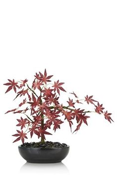 Buy Bonsai Acer Tree from the Next UK online shop
