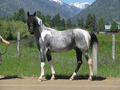 black roan tobiano - Paint Horse stallion Heza Blue Tomcat
