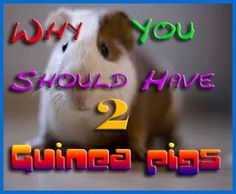 Having two is better than one and here's why http://abyssinianguineapigtips.com/why-you-should-have-2-guinea-pigs/
