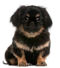 Pekingese Dogs are Adoptable