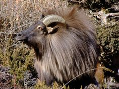 Everest Base Camp Trek Day 9 part 1: Encounters with Himalayan Tahr in Nepal