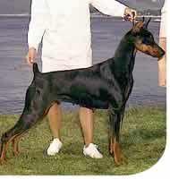American Doberman, Black And Tan Terrier, Doberman Pinscher Dog, Kinds Of Dogs, Oragami, Pet Health, Rottweiler, Beret, Dog Breeds