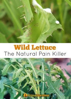 This articles discusses the benefits and side effects of eating wild lettuce and shares recipes on how to use this healing plant. And it offers tips on how to identify wild lettuce and how to use it as a natural pain killer. #bushcrafting #wildplants #naturalpainrelief #wildlettuce #healing Natural Pain Relief, Natural Headache Remedies, Natural Health Remedies, Herbal Remedies, Natural Cures, Holistic Remedies, Healing Herbs, Natural Healing, Herbal Medicine