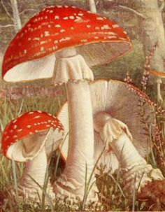 Amanita muscaria ( fly agaric ).  Illustration taken from 'Nouvel Atlas de Poche des Champignons' by  Paul Dumee. Published 1911 by Leon LHomme.  The LuEsther T Mertz Library, the New York Botanical Garden
