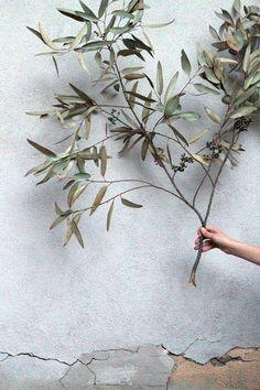 Ast vom Olivenbaum