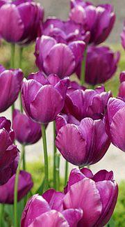 flotte lilla tulipaner