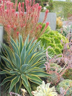 Plenty of succulents and a budded Leucodendron work well with this grey concrete - Roger's Gardens. Succulent Landscaping, Succulents Garden, Backyard Landscaping, Coastal Landscaping, California Front Yard Landscaping Ideas, Luxury Landscaping, Rogers Gardens, Drought Tolerant Landscape, Drought Resistant Landscaping