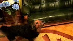 Pies, który umie śpiewać