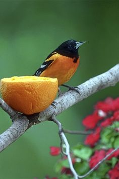 Learn how to successfully attract orioles and other birds with sweet fruits.