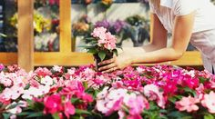 Photo about Cropped view of woman choosing pink flowers in garden center. Image of pink, enjoyment, female - 9916636 Off The Grid News, Honeymoon Packages, Plant Nursery, Potted Plants, Pink Flowers, Stock Photos, Landscape, Garden, Landscaping Contractors