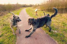 I Love Irish Wolfhounds Irish Wolfhound Puppies, Irish Wolfhounds, Huge Dogs, I Love Dogs, Scottish Deerhound, Akc Breeds, Young Animal, Beautiful Dogs, Dog Life