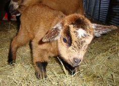 My pet goat essay