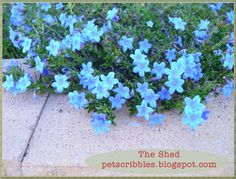 Lithodora blooms profusely in the Spring, with electric blue blossoms. An evergreen perennial, it provides year-round garden interest.