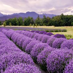 Photo about Purple landscape at a lavender farm in Sequim, Washington, Lavender Capitol USA. Image of harvest, countryside, farm - 5851767 Herb Farm, Herb Garden, Fruit Garden, Sequim Washington, Washington Usa, Image Deco, Mother Earth News, Herb Seeds, Most Beautiful Flowers
