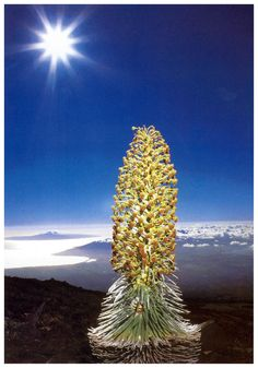 The Silversword of Haleakala National Park on Maui. It only blooms once and grows no where else.