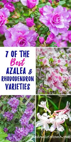 I love this list of Rhododendron and Azalea varieties. So many pretty flowers that will look beautiful in my spring garden. I really like the one with variegated leaves. Garden Shrubs, Flowering Shrubs, Shade Garden, Azaleas Landscaping, Backyard Landscaping, Perenial Garden, Clematis Plants, Landscaping Melbourne, Landscaping Ideas