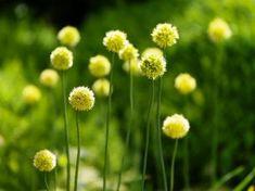 Allium-Obliquum.jpg
