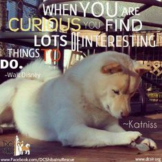 When you are curious you find lots of intersting things to do. #disney #quotes #shiba #dogs