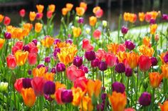 Spring Combination Ideas, Bulb Combinations, Plant Combinations, Flowerbeds Ideas, Spring Borders, Tulip Orange Emperor, Tulip Apricot Beauty, Tulip Negrita,Tulip Attila, Tulip Varinas, Tulip Beauty Queen