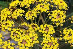 how to grow bronze fennel seeds