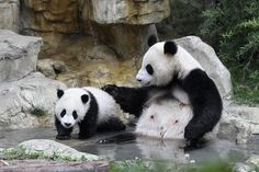 China launches free 24-hour live Internet broadcast of giant pandas, state-run Xinhua news agency says. (via @The Wall Street Journal; photo: Reuters)