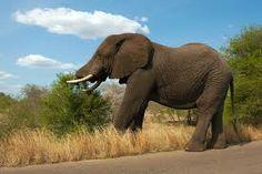 Elephant Flips Car in Kruger National Park - News - Bubblews
