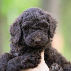 Find the right Labradoodle puppy for sale near you!
