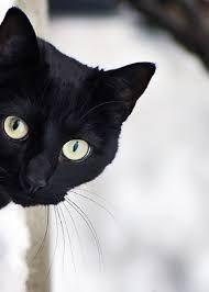 Картинки по запросу черный кот в одежде фото