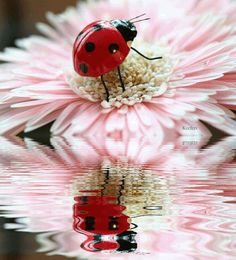 This is a stunning photo of a cute little red ladybug on a pink flower and all reflecting back in the water. I love it.