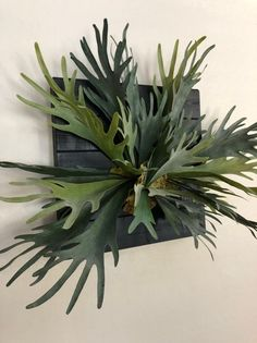 Fern plants provide a handsome decoration for indoors or outdoors. There are many types of ferns available which can be … Fern Plant, Plant Leaves, Staghorn Fern Mount, Cat Friendly Plants, Potted Ferns, Types Of Ferns, Ferns Garden, Natural Air Freshener, Large Macrame Wall Hanging