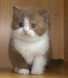 Short Hair Cinnamon Kitty http://ift.tt/2bnBCXw