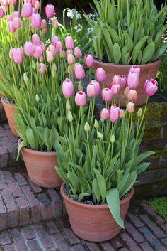 Rośliny cebulowe - na przykład tulipany - znakomicie nadają się do ogrodu w pojemnikach