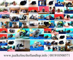 Hewan Peliharaan Populer Selain Kucing yaitu Kelinci Hias Holland Lop 081910500571