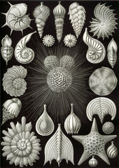 Art-Haeckel-Microscopic-Haeckel_Thalamphora.jpg (1164×1649)