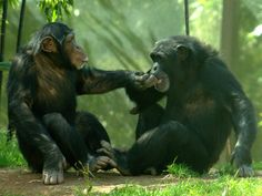 Chimpanzees Have Bromances, Too | A decade-long study shows that nearly all adult male chimps form enduring social bonds with other males, exchanging back scratches, sharing meat, and generally chumming around. (we already knew that really)