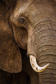 "earthandanimals: ""The Eye of an African Bull Elephant Photo by Stephen Oachs "" Photo Elephant, Bull Elephant, Elephant Love, Elephant Photography, Wildlife Photography, Animal Photography, Portrait Photography, Elephants Never Forget, Save The Elephants"