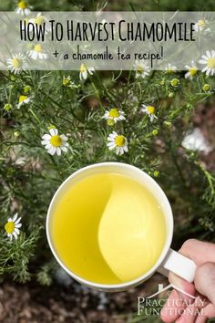 Herbs Gardening Learn how to harvest chamomile, plus a simple chamomile tea recipe! - Learn how to harvest chamomile, plus a simple chamomile tea recipe! Growing Herbs In Pots, Growing Vegetables, Growing Tea, Healing Herbs, Medicinal Herbs, Natural Healing, Homemade Tea, Types Of Herbs, Flower Tea