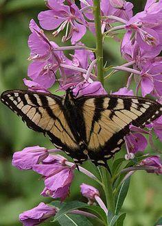 Tiger Swallowtail, Charles Kozierok