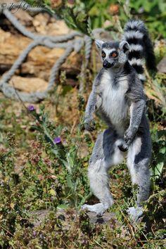 Standing Catta Lemur