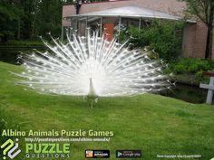 Albino Animals Puzzle Games