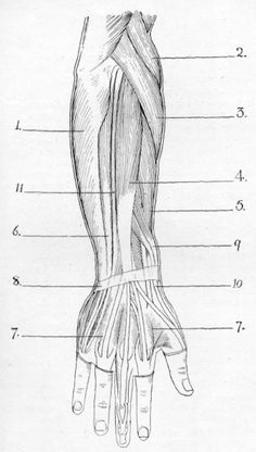 Fig. 39. Superficial Muscles of Back of Forearm and Hand (Right).