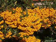 Pyracantha Soleil d'Or Berry, Pumpkin, Plants, Outdoor, Outdoors, Pumpkins, Bury, Planters, Outdoor Living