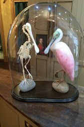 Here is a collection of some of the most interesting objects I have come across. Bad Taxidermy, Taxidermy Decor, Taxidermy Display, Glass Bell Jar, The Bell Jar, Glass Domes, Bell Jars, Uncommon Objects, Strange History