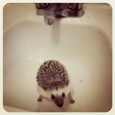 {Ludwig} sweet lil hedgehog