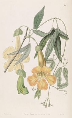 Bignonia (1840) - Edwards's botanical register. - Biodiversity Heritage Library