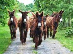 Afbeeldingsresultaat voor Cotentin Donkey